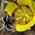 Midget Moth - Eutricopis