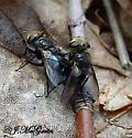 mating flies-what kind? - Gonia - male - female