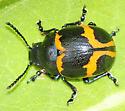 Labidomera clivicollis - Swamp Milkweed Leaf Beetle - Labidomera clivicollis