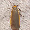 8043 Bicolored Moth - Manulea bicolor