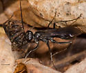 Spider Wasp, Early Spring Hunter - Priocnemis minorata