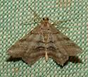 Moth - Macaria multilineata