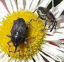 Weevils on fleabane - Odontocorynus salebrosus