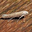 Haplochrois bipunctella