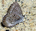 Butterfly - Celastrina ladon
