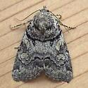 Noctuidae: Cosmia praeacuta - Cosmia praeacuta