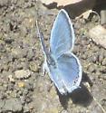 Eastern Tailed Blue (Ohio, April) - Cupido comyntas