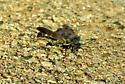 Spider Wasp - Episyron quinquenotatus - female