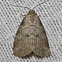 Dotted Graylet Moth - Hodges#9037 - Hyperstrotia pervertens