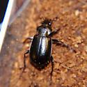 Callisthenes affinis - Calosoma affine - male