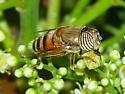 hoverfly - Eristalinus taeniops - female