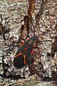 Eastern Box Elder Bug - Boisea trivittata