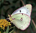 An oldie: image from 1989 - Colias philodice - female