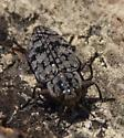 Gray beetle with black markings, found on bark - Chrysobothris