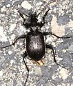 Beetle - Calosoma frigidum - male