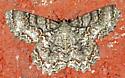 Moth to porch light - Epimecis hortaria - male