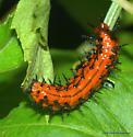 Orange Caterpillar - Agraulis vanillae