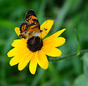 unknown butterfly - Chlosyne nycteis