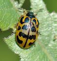 Chrysomela - unident - Chrysomela knabi