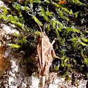 Pygmy Grasshopper -Tetrix  - Tetrix - female