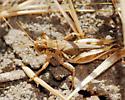 Caspers Hopper for ID - Melanoplus devastator - male