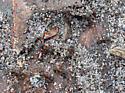 Ants - Cyphomyrmex rimosus - female