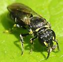 Masked Bee Subgenus Prosopis  - Hylaeus