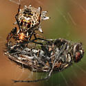 spined Micrathena with fly - Micrathena gracilis - female