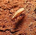 Two Roaches - Parcoblatta