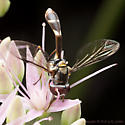 Flower Fly Wasp Mimic - Dioprosopa clavata - male