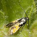 Heliodinidae on Four O'Clock buds