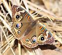 buckeye butterfly - Junonia coenia