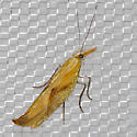 Canary Ypsolopha - Ypsolopha canariella