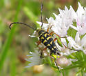 Black & Yellow Bug - Typocerus zebra