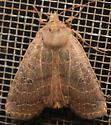 many lined moth - Sericaglaea signata - female