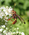 Ichneumon ? - Spilopteron vicinum - female