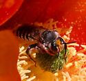 Megachilidae? - Lithurgopsis