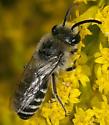 Bee IMG_5194 - Colletes simulans