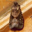 Moth - Cryptaspasma bipenicilla