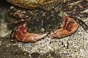 9059402 crab - Pachygrapsus crassipes