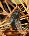 unidentified Diptera - Pollenia