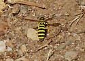 OC Hymenoptera #16 - Pseudomasaris edwardsii - female
