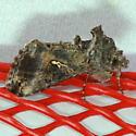 Gray Looper Moth - Rachiplusia ou