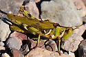 UID GRASSHOPPER - Bootettix argentatus - female
