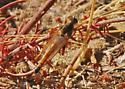 One-shot robber fly - Stenopogon maybe? - Stenopogon californiae - male
