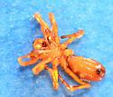 red male spider - Castianeira trilineata - male