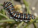 Papilio polyxenes coloro - Papilio polyxenes