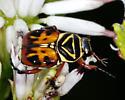 Beetle on Palafoxia feayi - Trigonopeltastes delta