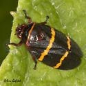 Two-lined Spittlebug- Prosapia bicincta  - Prosapia bicincta