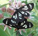Alypia octomaculata or Alypia maccullochii ?  OR? - Gnophaela latipennis - male - female